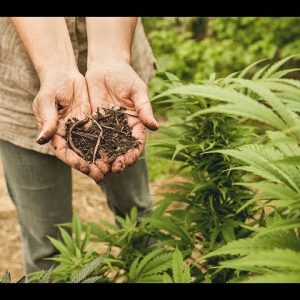 Cannabis Cultivation: How to Supercharge Your Cannabis Grow Using Biochar / Green Flower