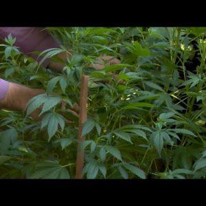 Backyard Cannabis Growing Tips: Dan Grace / Green Flower