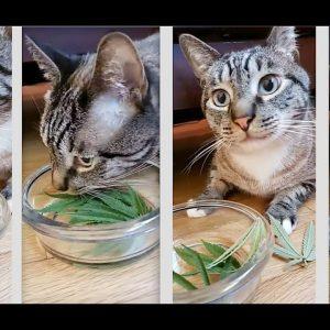 #Pet #Cat #Eating Medical #Marijuana #CBD Treats Pets No THC Non Psychoactive Cannabis Sativa Leaves